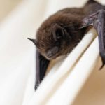 Picture of Bracktown bat control service