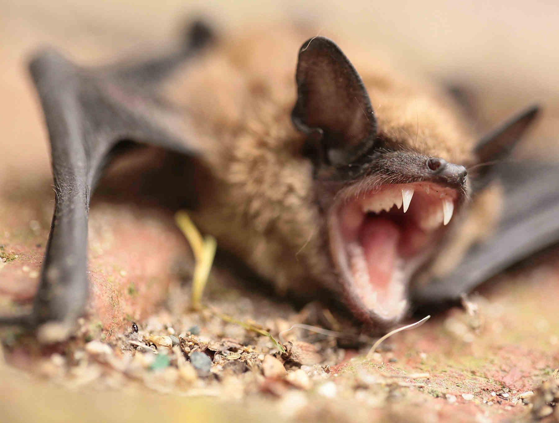Georgetown Bat Removal