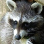 Picture of Colby raccoon trapping service