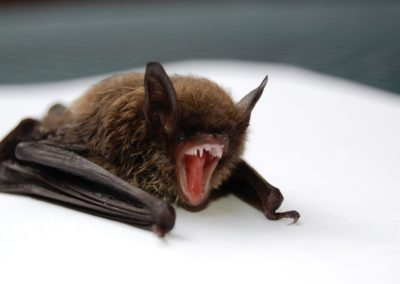 Bat-control-exclusion