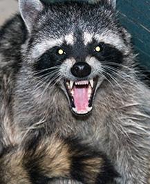 raccoon control,Lexington